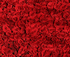 red-roses_200x200